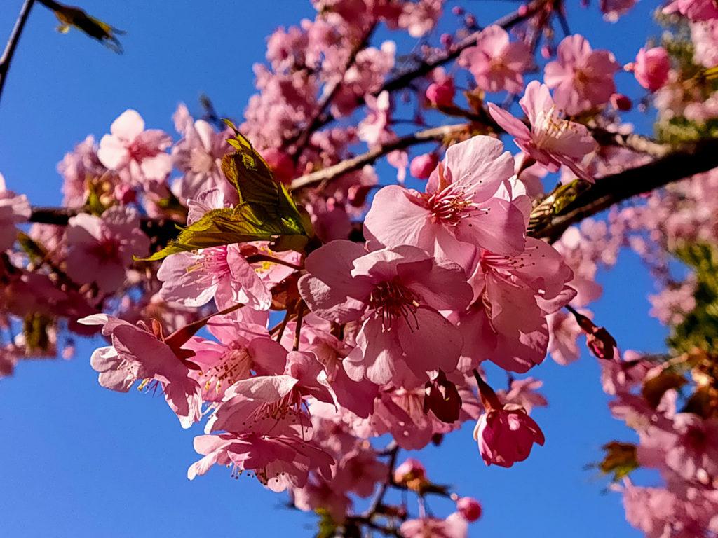 コクーンシティ「さくらウォーク」の河津桜