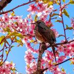 【コクーンシティ】「さくらウォーク」の河津桜が見頃になりました